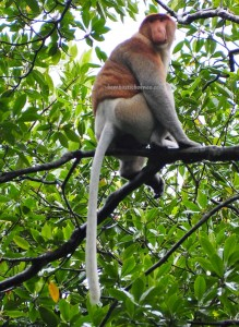 Kawasan Konservasi Mangrove, Nature Reserve, proboscis monkey, Protected Animals, Bekantan, wildlife, adventure, outdoor, destination, Indonesia, Obyek wisata alam, Tourism, travel guide, transborder, 北加里曼丹长鼻猴, 旅游景点,