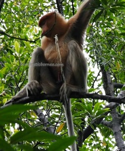 Mangrove Forest Conservation Area, Nature Reserve, proboscis monkey, Protected Animals, adventure, backpackers, destination, Borneo, Obyek wisata alam, Tourism, tourist attraction, travel guide, crossborder, 婆罗洲, 旅游景点