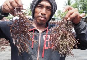 seaweed farming, rumput laut, Tanjung Harapan, nature, traditional, authentic, Borneo, Island, elkhorn sea moss, Kappaphycus alvarezii, village, Obyek wisata, Tourism, Transborneo, 北加里曼丹, 婆罗洲海草,