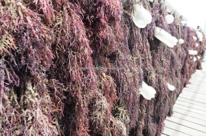 seaweed farming, nature, exploration, traditional, Borneo, Indonesia, Kalimantan Utara, Kappaphycus alvarezii, red algae, village, Tourism, tourist attraction, travel guide, crossborder, 婆罗洲, 海草旅游景点