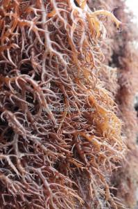 rumput laut, Tanjung Harapan, nature, authentic, destination, Indonesia, Kalimantan Utara, Island, elkhorn sea moss, Kappaphycus alvarezii, red algae, Tourism, obyek wisata, Transborneo, 北加里曼, 海草旅游景点