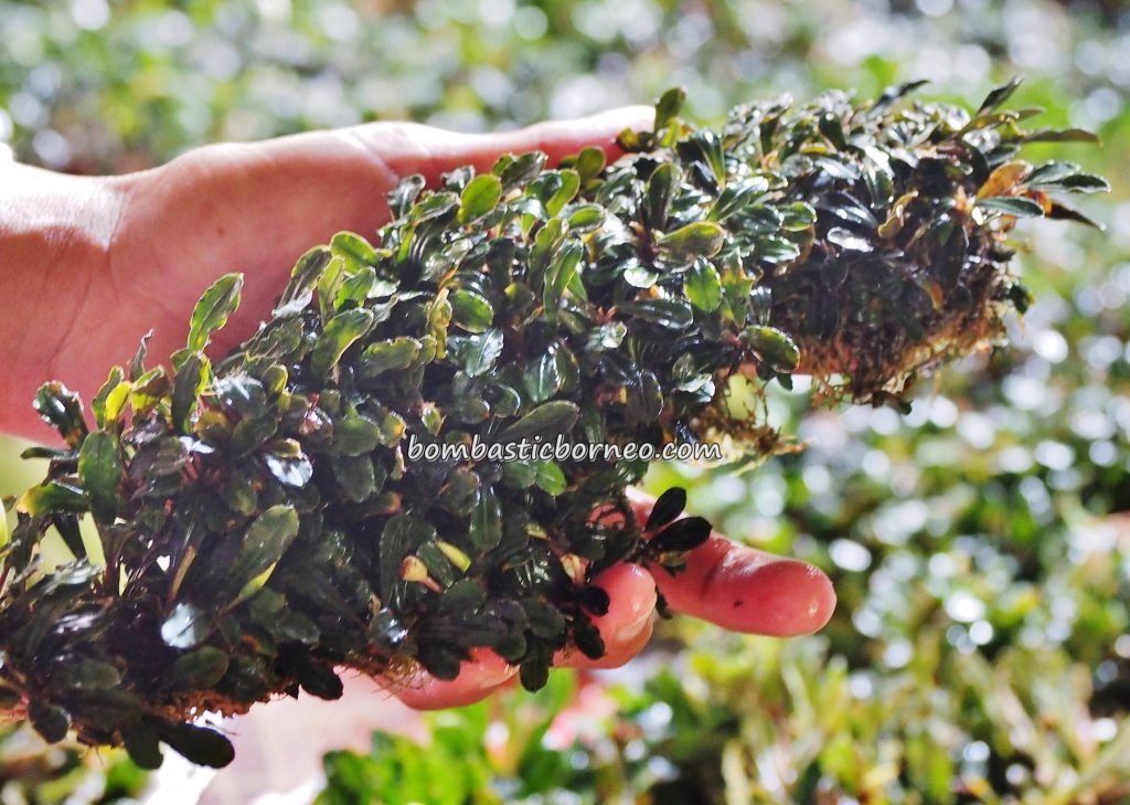 Bucephalandra, destination, Borneo, Lunsara, Suka Maju, Kapuas Hulu, Kampung Melayu, malay village, Sungai Kapuas, native, Tourism, tourist attraction, travel guide, crossborder, 婆罗洲西加里曼丹