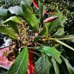 authentic, Lunsara, Suka Maju, Kapuas Hulu, Putussibau Selatan, Kampung Melayu, malay village, Sungai Kapuas, Tourism, tourist attraction, travel guide, Transborder, 婆罗洲水生植物