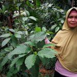 puri, Medicinal Plants, Mitragyna speciosa, authentic, Borneo, Lunsara, Suka Maju, Kapuas Hulu, Putussibau Selatan, Kampung Melayu, malay village, Sungai Kapuas, Tourism, travel guide, 婆罗洲西加里曼丹