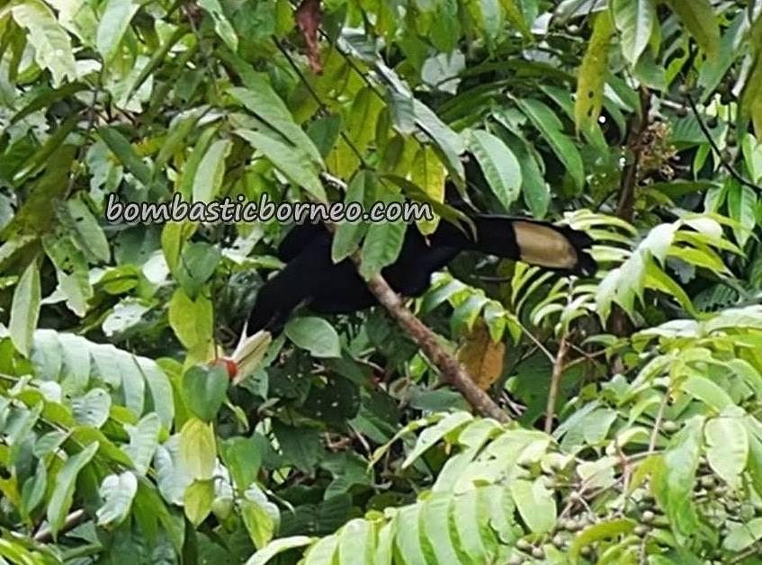 pied hornbill, wildlife, nature, burung kenyalang, destination, Kalimantan Barat, Kapuas Hulu, Putussibau, Obyek wisata, Tourism, travel guide, transborneo, 婆罗洲, 印尼西加里曼丹,