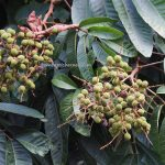 wild fruit, Nanga Lapung, traditional, backpackers, destination, Borneo, Desa Bungan Jaya, Kalimantan Barat, Kapuas Hulu, Putussibau Selatan, Obyek wisata, Tourism, tourist attraction, 婆罗洲, 印尼西加里曼丹