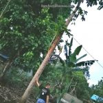 papaya tree, traditional, authentic, backpackers, destination, Borneo, Kalimantan Barat, Indonesia, Desa Bengkilu, Tujuh Belas, native, Tourism, travel guide, transborder, 孟加映西加里曼丹,