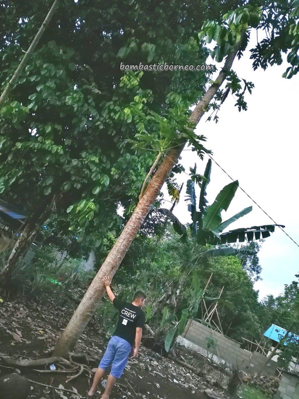 papaya tree, traditional, authentic, backpackers, destination, Borneo, Kalimantan Barat, Indonesia, Desa Bengkilu, Tujuh Belas, native, Tourism, travel guide, transborder, 孟加映西加里曼丹,