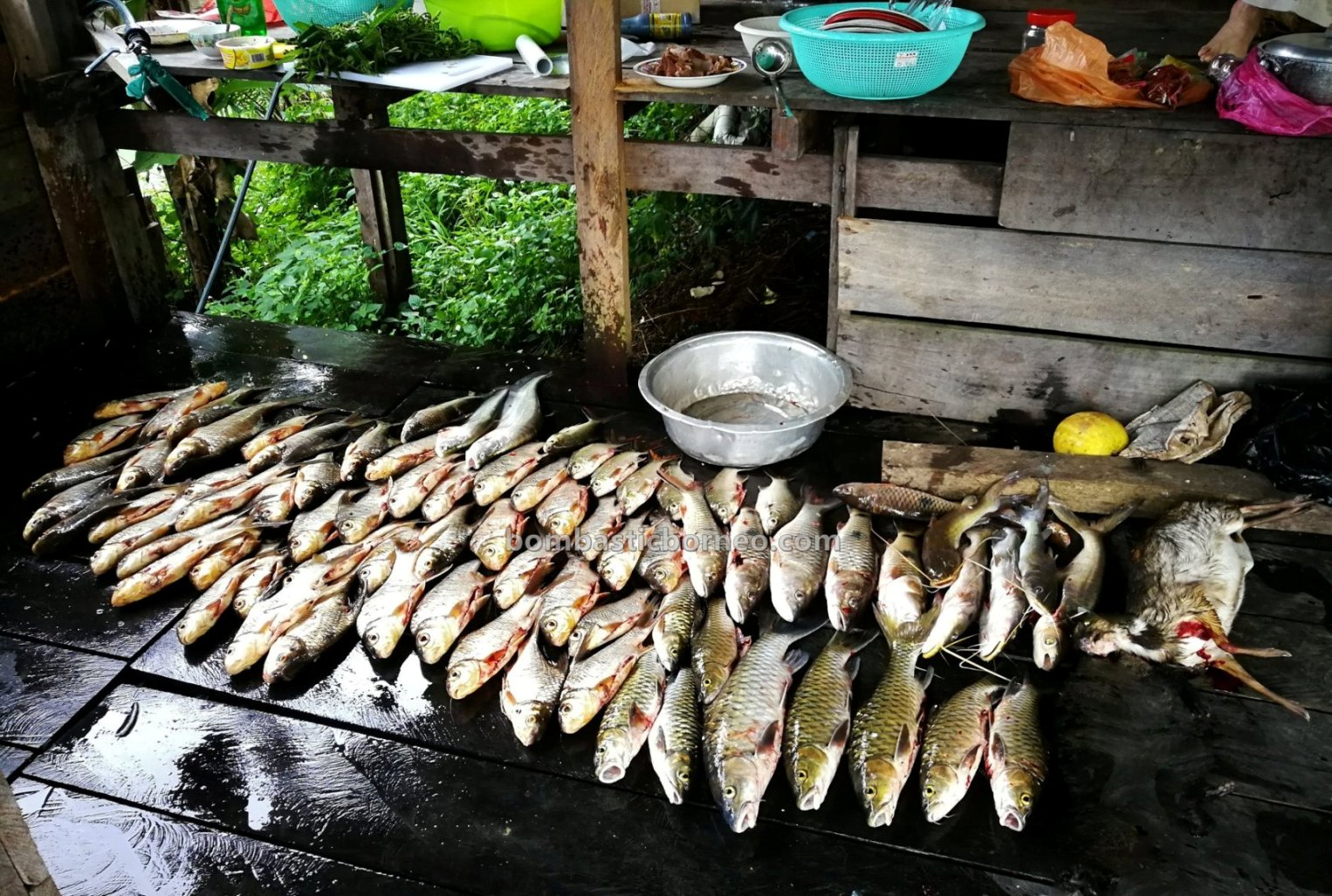 empangan, destination, Ikan semah, traditional, fishing trip, memancing ikan, homestay, Kapit, Malaysia, native, Tourism, tourist attraction, 探索婆罗洲游踪, 砂拉越峇贡水坝, 马来西亚钓鱼之旅,
