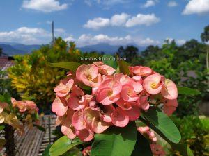 nature, flower, flora, Sungkung Akit, traditional, exploration, dayak bidayuh, native, tourism, travel guide. 印尼西加里曼丹, 原住民土著部落,