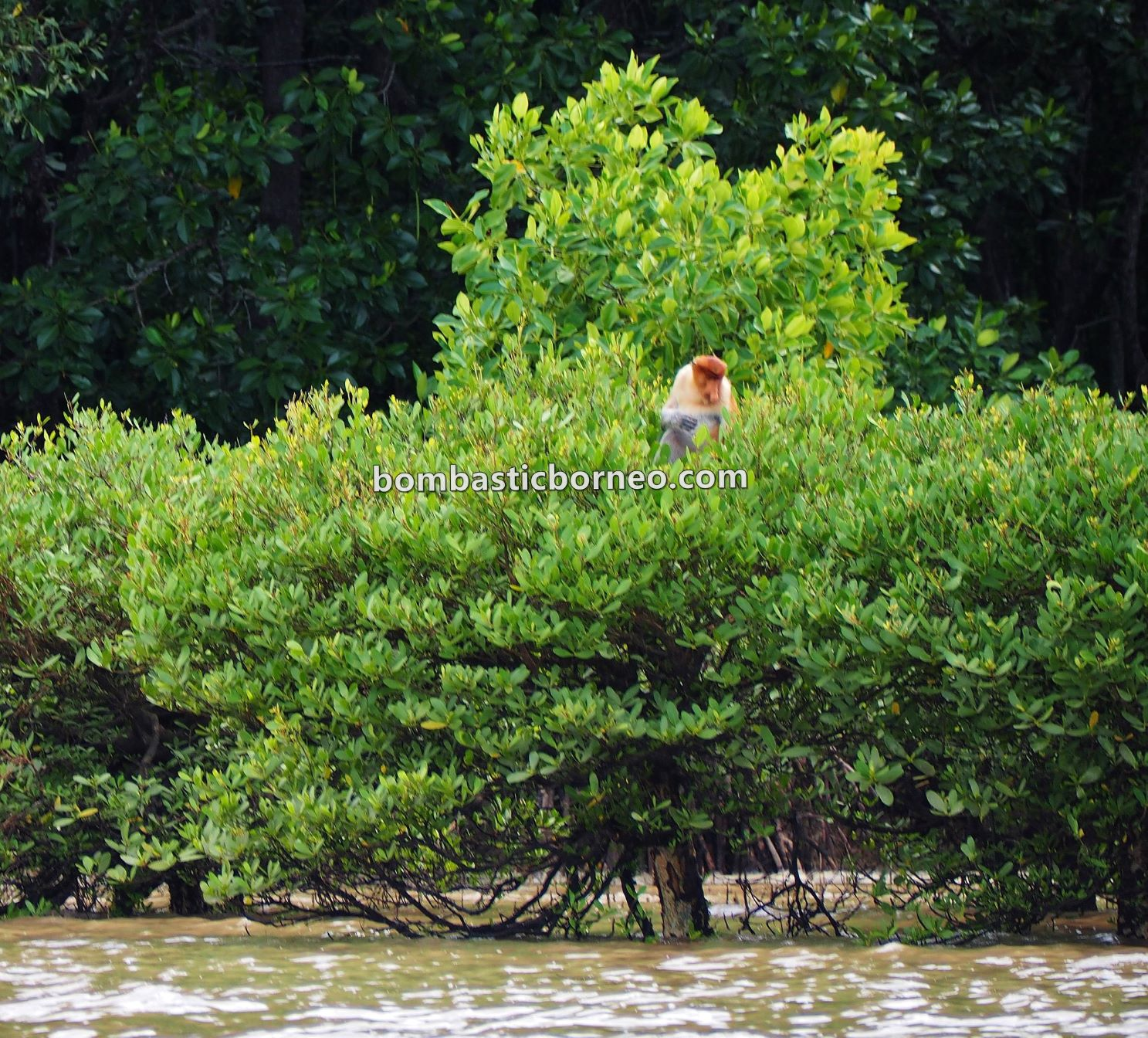 Pulau Sebatik, exploration, adventure, nature, backpackers, destination, Malaysia, Sabah, Monyet Belanda, Proboscis monkey, wildlife, Ecotourism, tourist attraction, Travel Guide, Trans Borneo