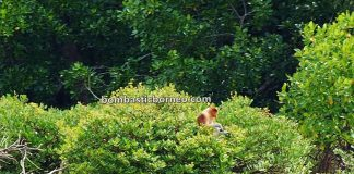 jelajah, adventure, nature, outdoor, backpackers, destination, Malaysia, Nasalis Lavartus, Proboscis monkey, Protected Species, wildlife, tourist attraction, Travel Guide, 穿越婆罗洲游踪, 马来西亚沙巴长鼻猴