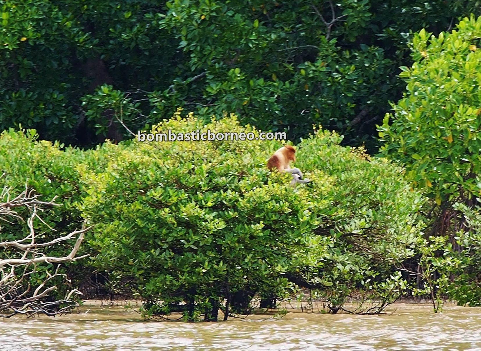 jelajah, adventure, nature, outdoor, backpackers, destination, Malaysia, Nasalis Lavartus, Proboscis monkey, Protected Species, wildlife, tourist attraction, Travel Guide, 穿越婆罗洲游踪, 马来西亚沙巴长鼻猴