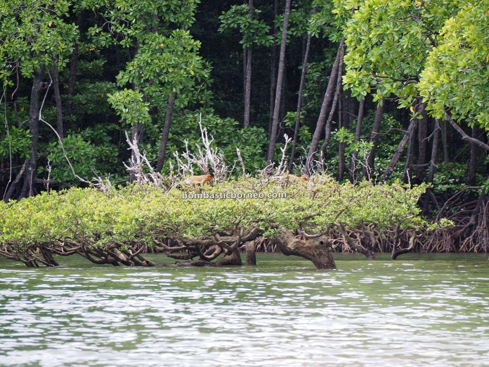island, exploration, adventure, nature, backpackers, destination, Nasalis Lavartus, Proboscis monkey, wildlife, Ecotourism, tourist attraction, Cross Border, Borneo, 婆罗洲旅游景点, 马来西亚沙巴长鼻猴