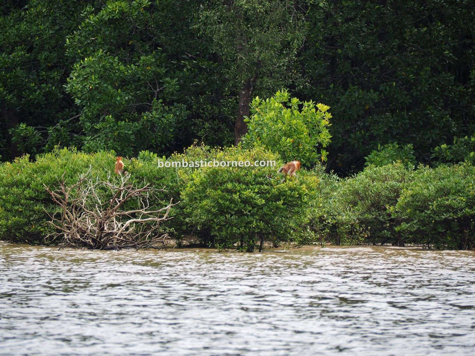 Pulau, boat ride, jelajah, exploration, adventure, nature, outdoor, Monyet Belanda, wildlife, tourist attraction, Travel Guide, Cross Border, Borneo, 婆罗洲长鼻猴, 沙巴旅游景点,