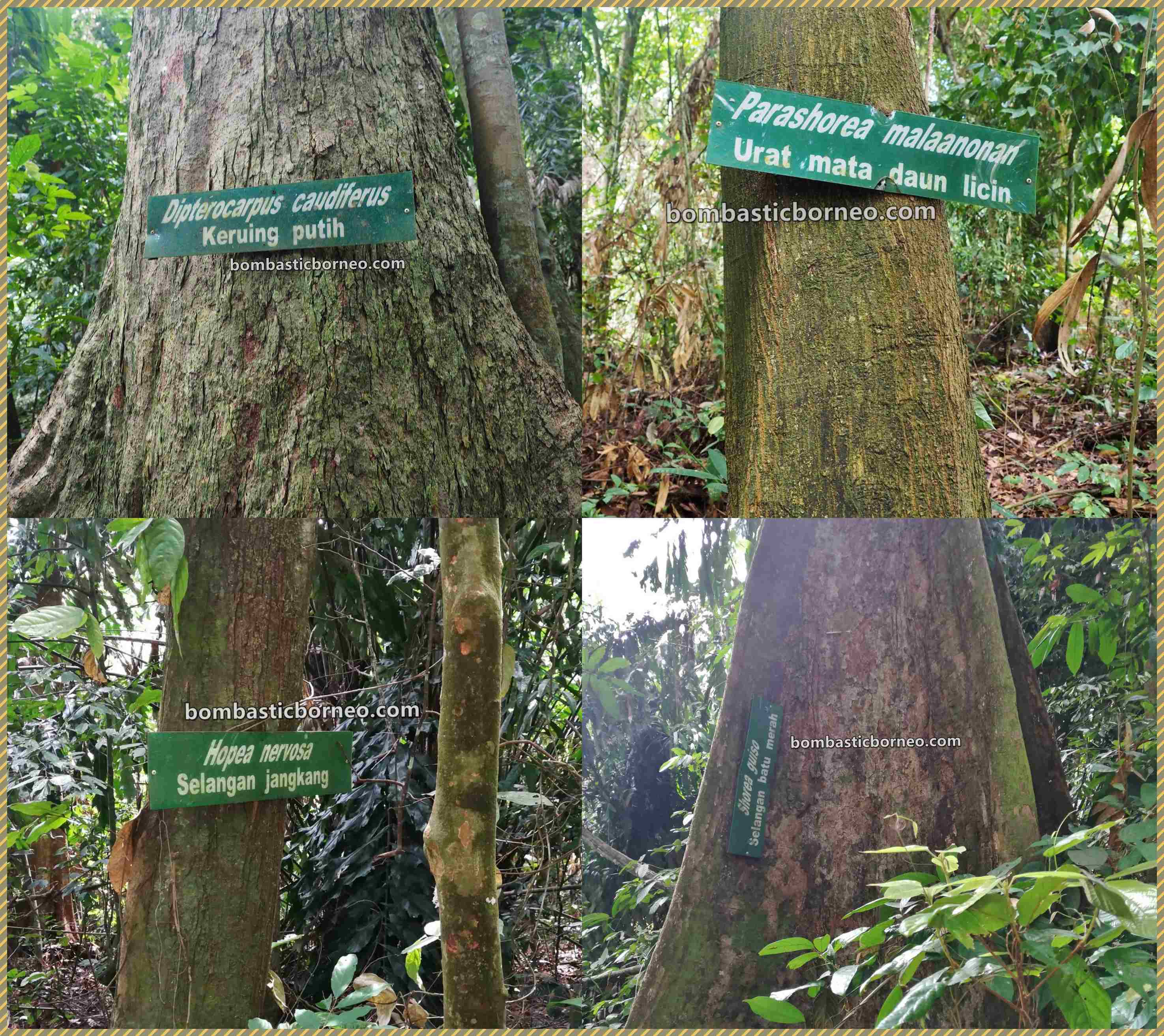 Pusat Sejadi, Gemok Hill Forest Reserve, adventure, nature, primary jungle, hiking, exploration, destination, Malaysia, Tourism, tourist attraction, travel guide, 婆罗洲马来西亚, 斗湖旅游景点, 沙巴森林保护区,