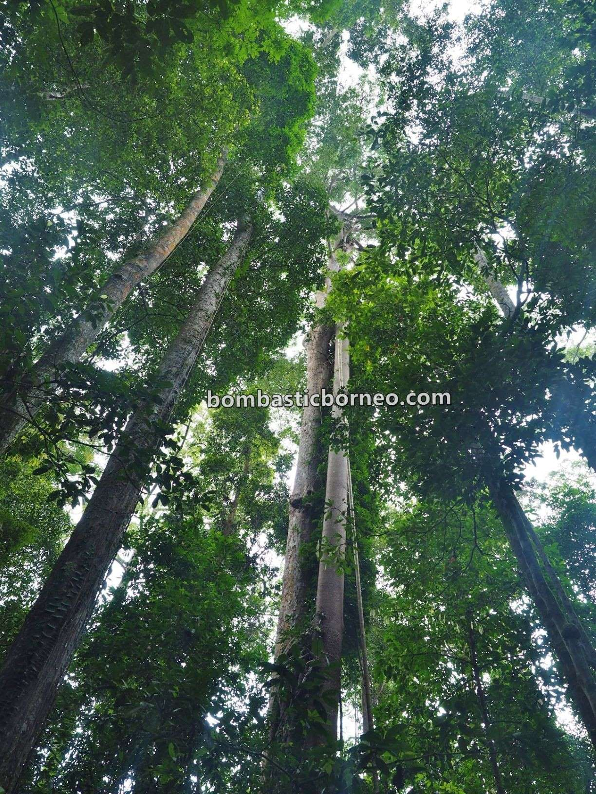 Pusat Sejadi Bukit Gemok, Gemok Hill Forest Reserve, rainforest, adventure, outdoor, hiking, conservation, exploration, destination, Malaysia, tourist attraction, travel guide, 穿越婆罗洲游踪,马来西亚沙巴, 斗湖森林保护区
