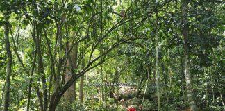 Pusat Sejadi Bukit Gemok, Gemok Hill Forest Reserve, adventure, nature, outdoor, conservation, exploration, Hutan simpan, canopy bridge, Malaysia, Tourism, tourist attraction, 婆罗洲游踪, 沙巴森林保护区, 斗湖旅游景点,