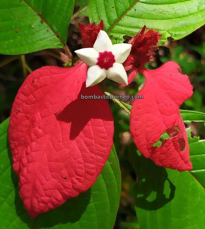 Asang Langai homestay, accommodation, Taman Botani, herbal farm, backpackers, destination, Lawas, Limbang, Malaysia, Ecotourism, Travel Guide, Borneo,