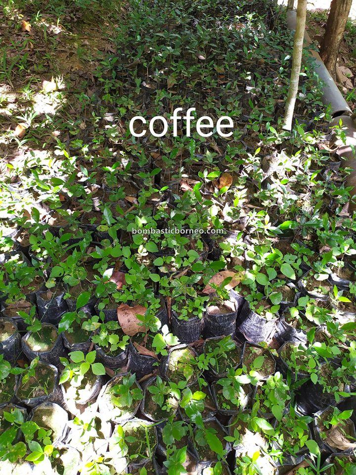 Long Langai homestay, Botanical Garden, nature, fruits farms, coffee Plant, exploration, Malaysia, Lun Bawang, native, Ecotourism, Travel Guide, Borneo, 马来西亚砂拉越, 巴卡拉兰内陆高原