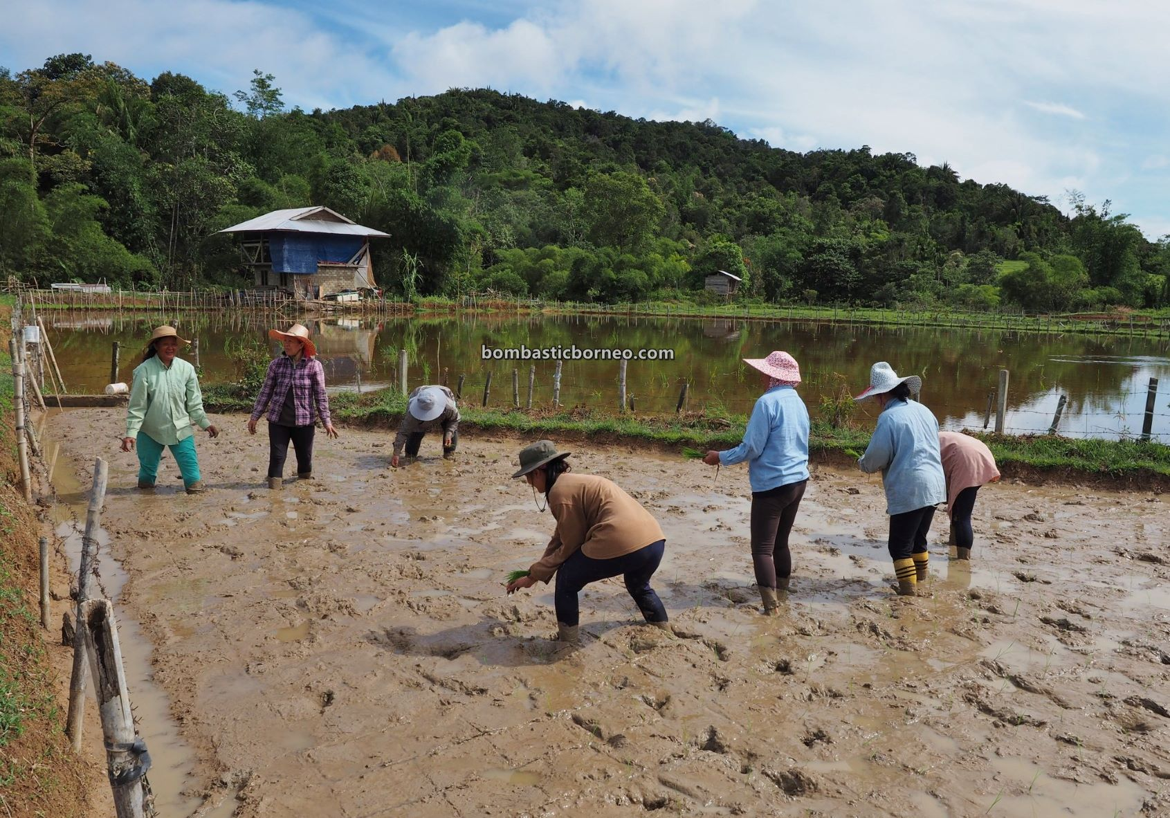 System of Rice Intensification, organic rice, paddy planting, traditional, destination, Interior village, Long Langai, Sarawak, Malaysia, Borneo, Highlands, Lun Bawang, native, Tourism, travel guide