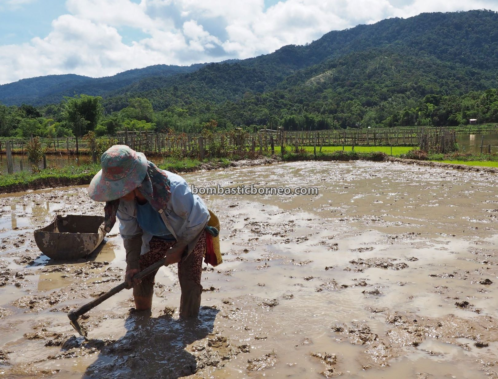 SRI, organic rice, paddy planting, traditional, highlands village, Long Langai, Sarawak, Malaysia, Borneo, native, dayak, Tourism, tourist attraction, travel guide, orang ulu,