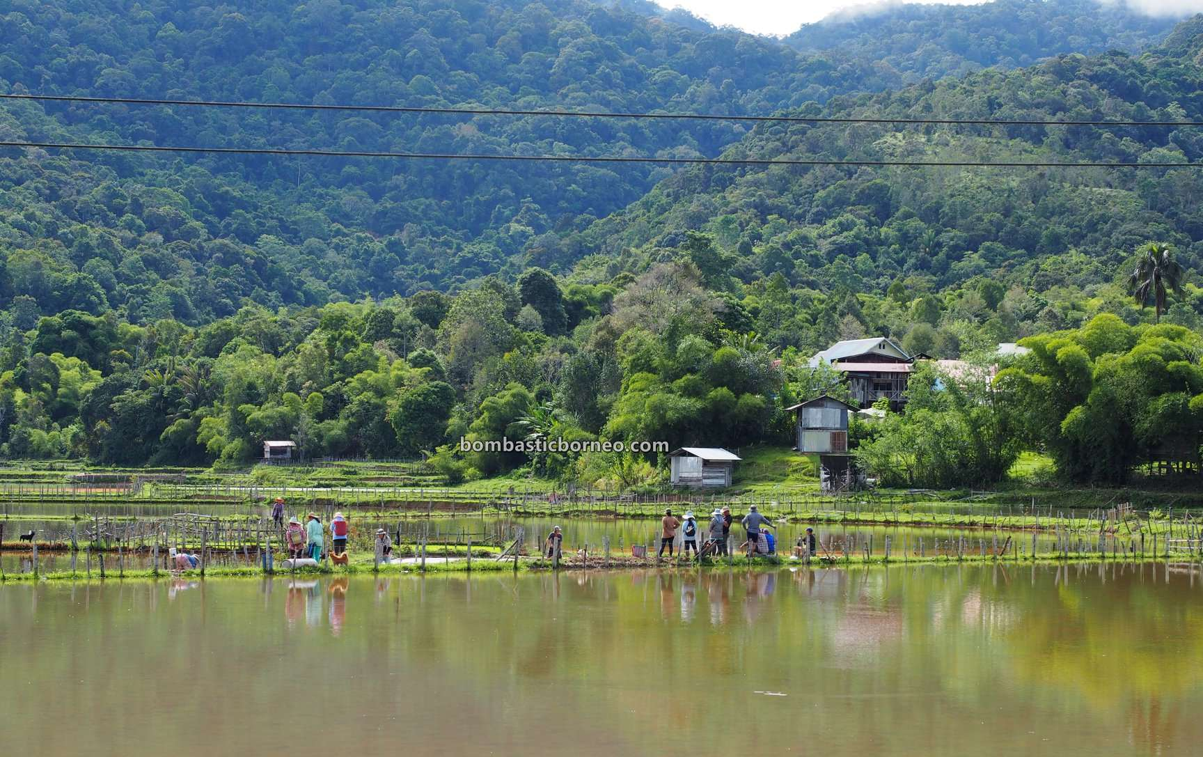organic rice, paddy fields, traditional, backpackers, destination, Interior village, Long Langai, Sarawak, Malaysia, Borneo, Maligan Highlands, Lun Bawang, native, Tourist attraction, travel guide,