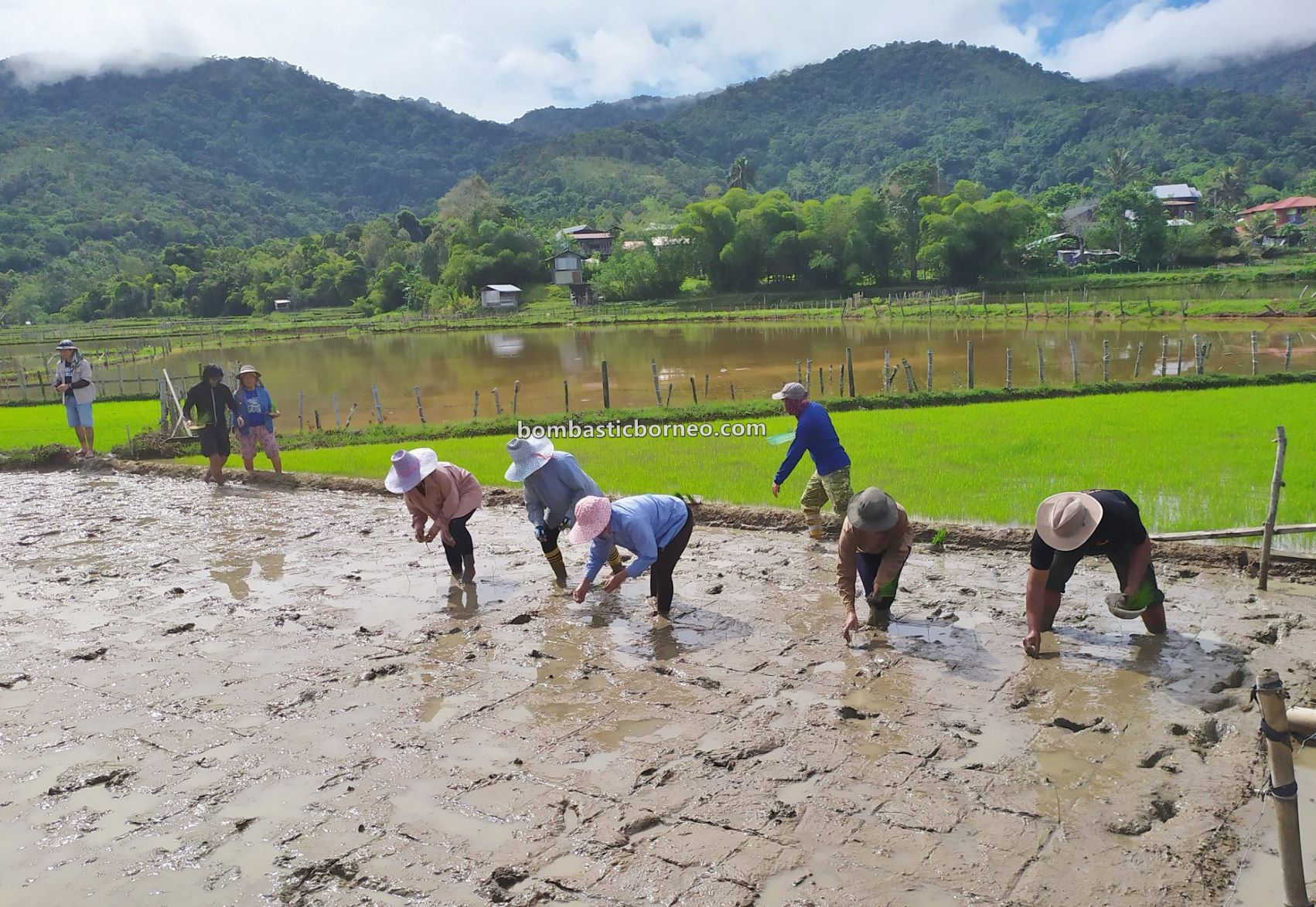 System of Rice Intensification, backpackers, Interior, village, Lawas, Long Langai, Malaysia, Borneo, Lun Bawang, native, tourist attraction, travel guide, 探索婆罗洲游踪, 砂拉越原住民部落, 巴卡拉兰水稻种植