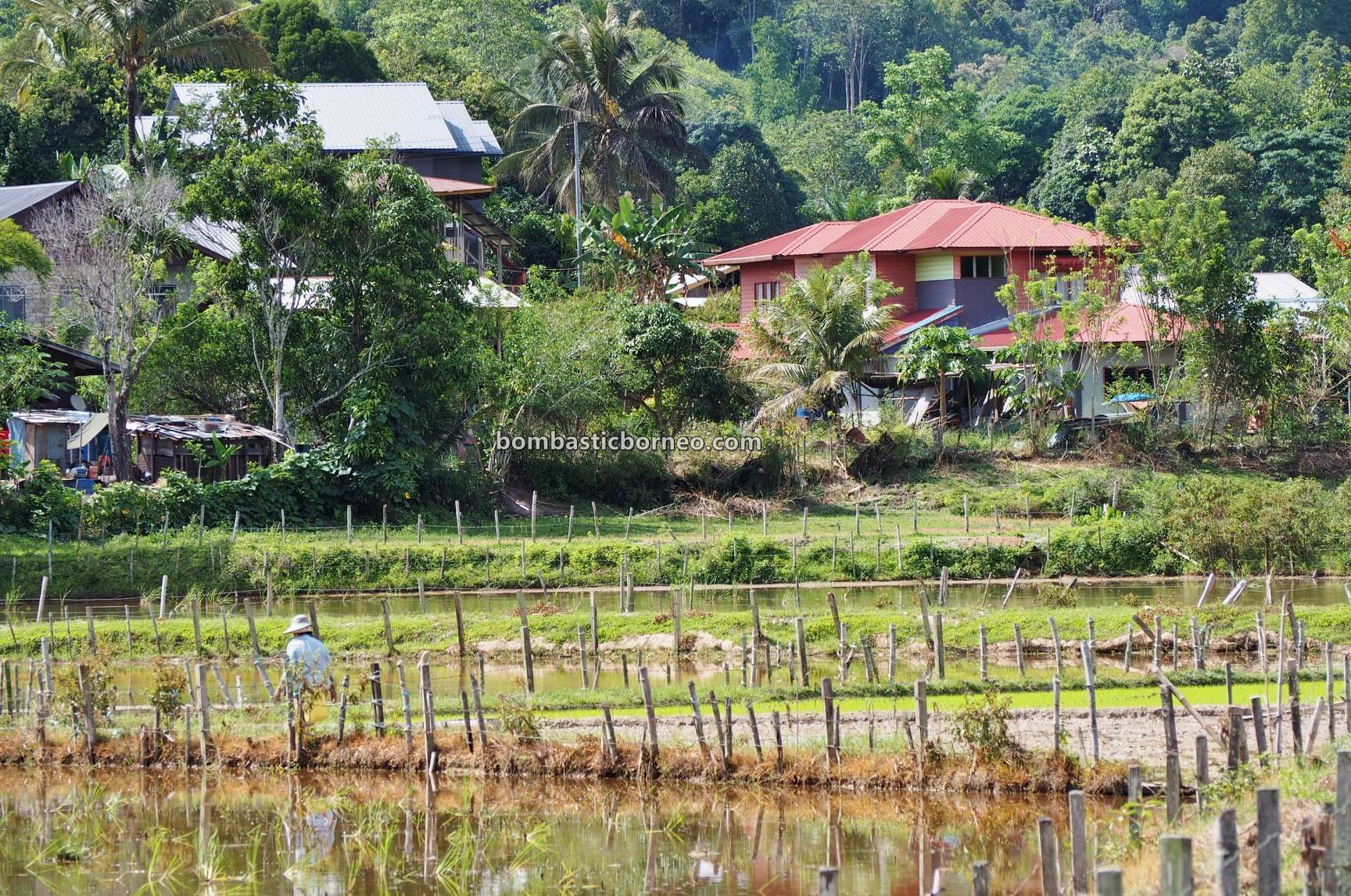 SRI, organic rice, traditional, Interior village, Lawas, Long Langai, Malaysia, Borneo, Lun Bawang, native, dayak, Travel guide, 跨境婆罗洲高原, 马来西亚原住民部落, 砂拉越巴卡拉兰