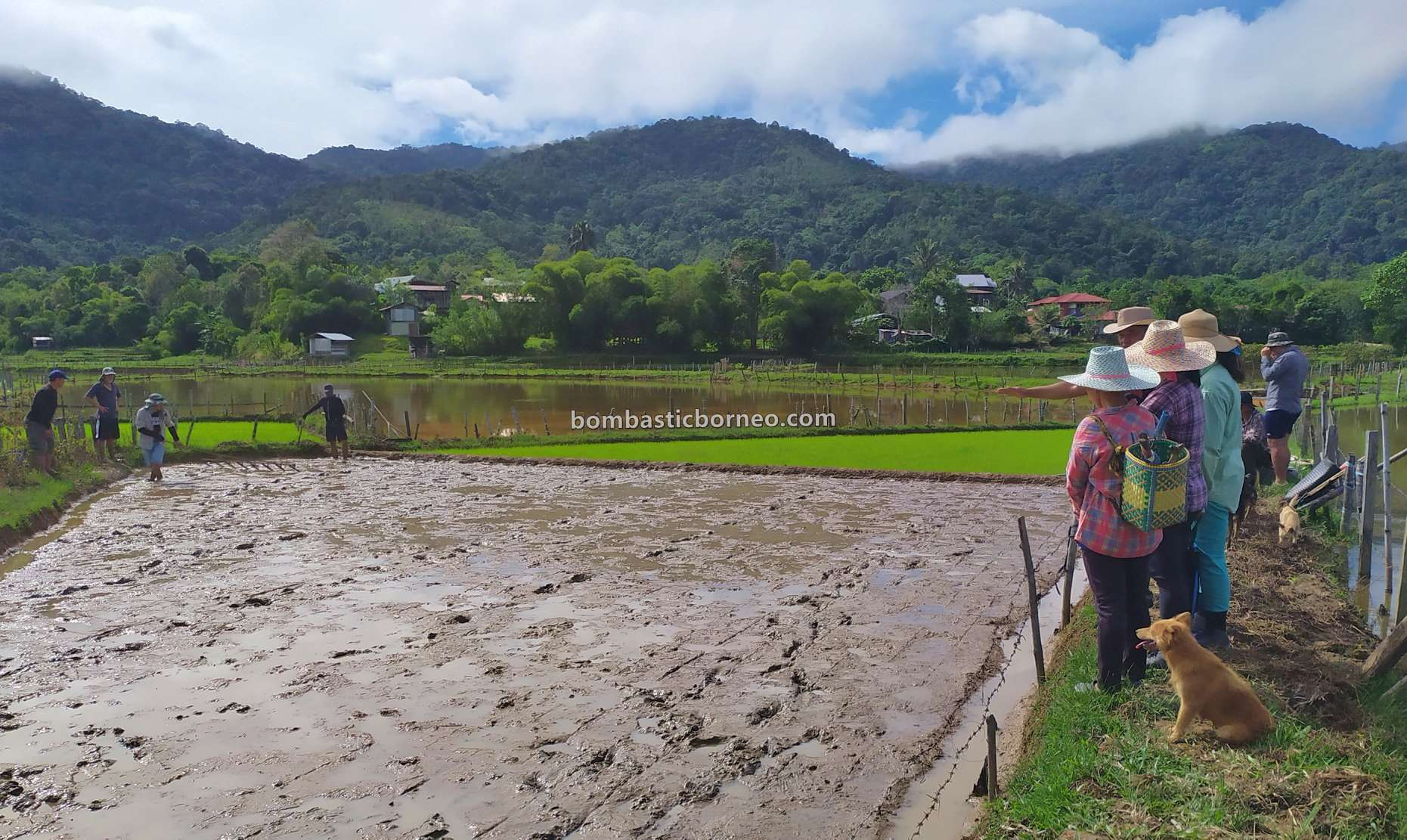 organic rice, paddy fields, traditional, authentic, backpackers, Long Langai, Malaysia, Lun Bawang, native, Orang Ulu, Tourism, tourist attraction, 婆罗洲原住民部落, 巴卡拉兰水稻种植, 砂拉越内陆高原