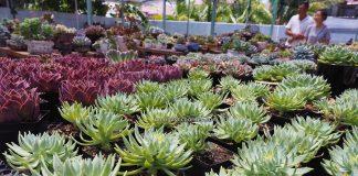 LS Succulent Garden, Succulent Plants, cactus, Ornamental Plants, Tanaman Kaktus, botany, nature, exploration, hobby, Tourism, tourist attraction, Borneo, 穿越婆罗洲游踪, 马来西亚砂拉越, 美里旅游景点,