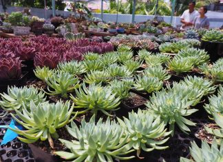 LS Succulent Garden, Succulent Plants, cactus, Ornamental Plants, Tanaman Kaktus, botany, nature, exploration, hobby, Tourism, tourist attraction, Borneo, 穿越婆罗洲游踪, 马来西亚砂拉越, 美里旅游景点,
