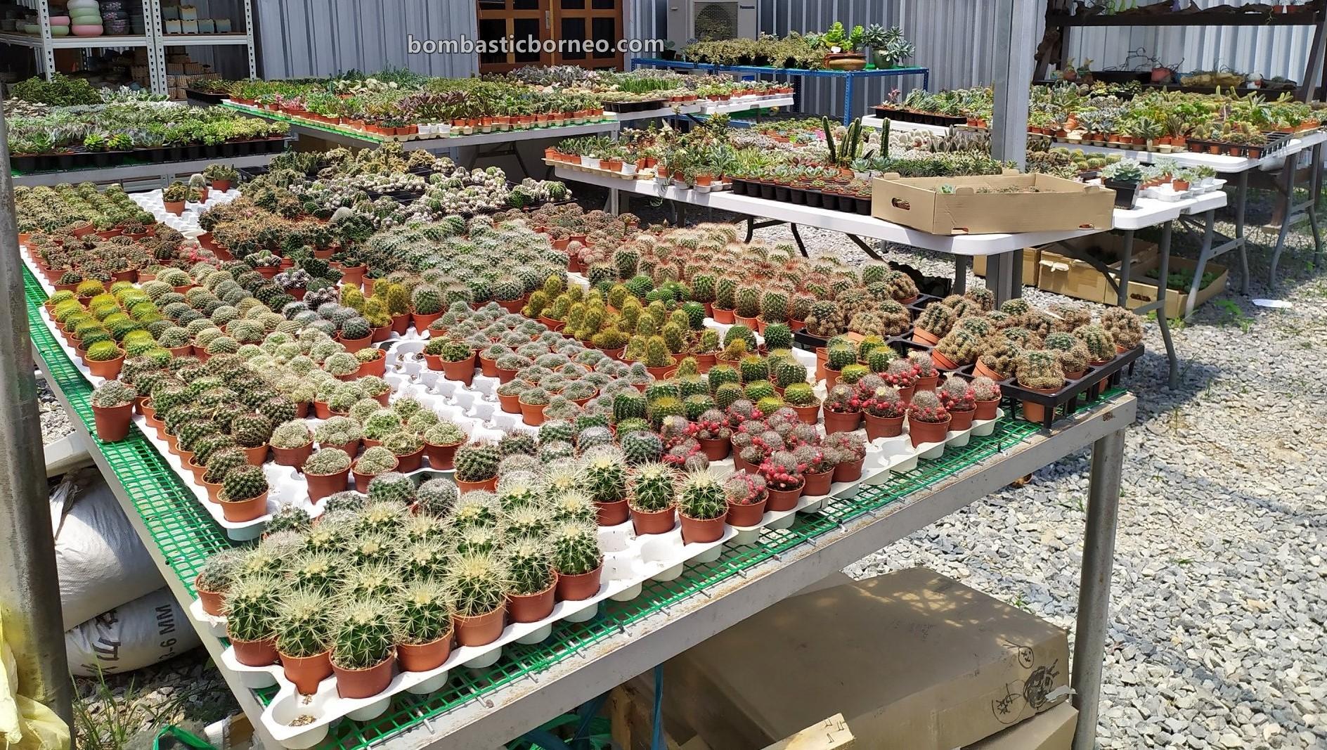 LS Succulent Garden, cacti, Ornamental Plants, Tanaman Kaktus, backpackers, destination, exploration, hobby, Tourism, Travel Guide, Trans Borneo, 穿越婆罗洲马来西亚, 砂拉越美里旅游景点, 雷氏多肉植物花圃,