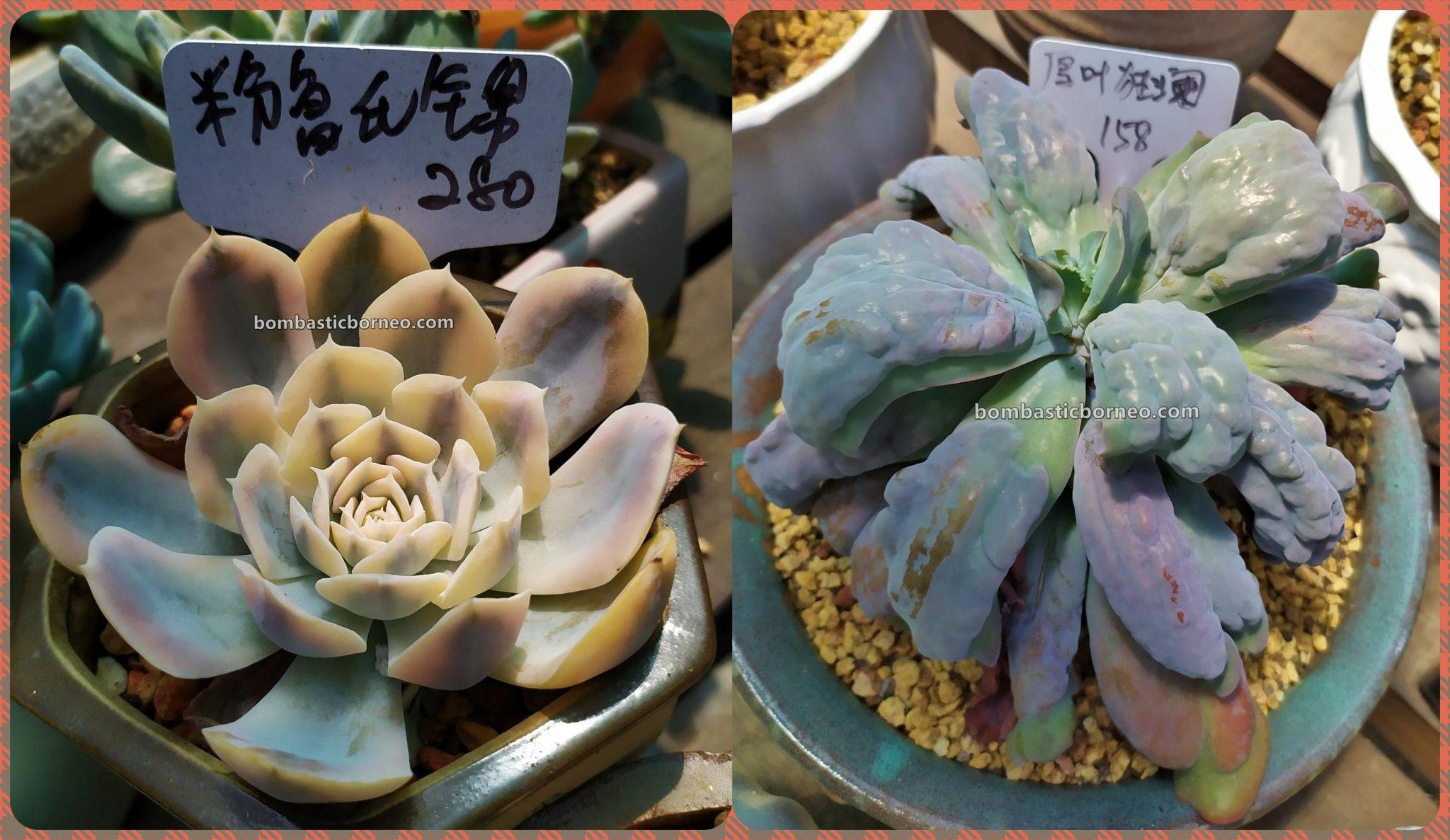LS Succulent Garden, cacti, Tanaman Kaktus, botany, flora, nature, Discover Miri City, exploration, Tourism, tourist attraction, Travel Guide, Trans Borneo, 穿越婆罗洲游踪, 马来西亚砂拉越, 美里旅游景点,