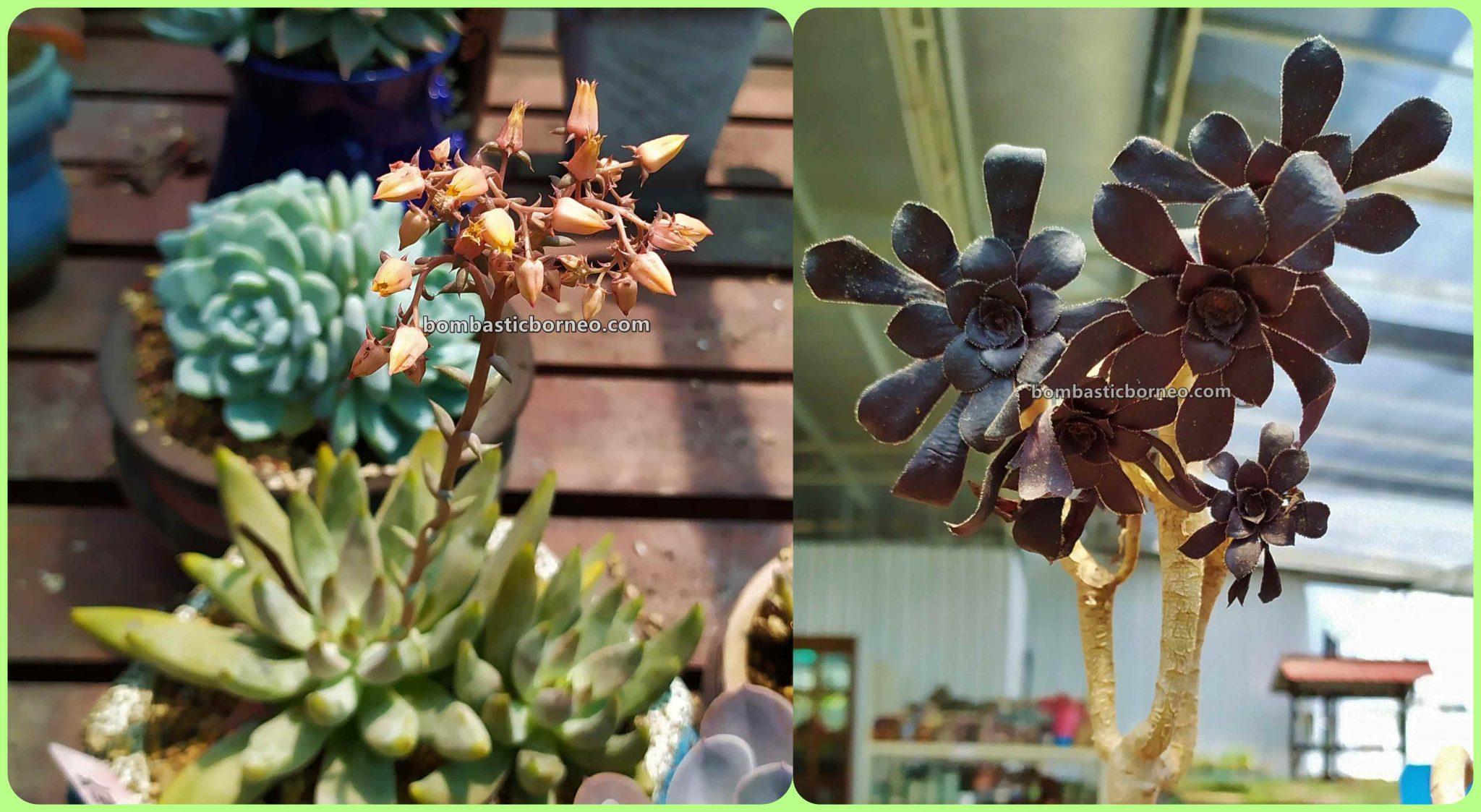 LS Succulent Garden, cactus, Ornamental Plants, Tanaman Kaktus, botany, flora, nature, exploration, hobby, Tourism, tourist attraction, 穿越婆罗洲马来西亚, 砂拉越美里旅游景点, 雷氏多肉植物花圃,