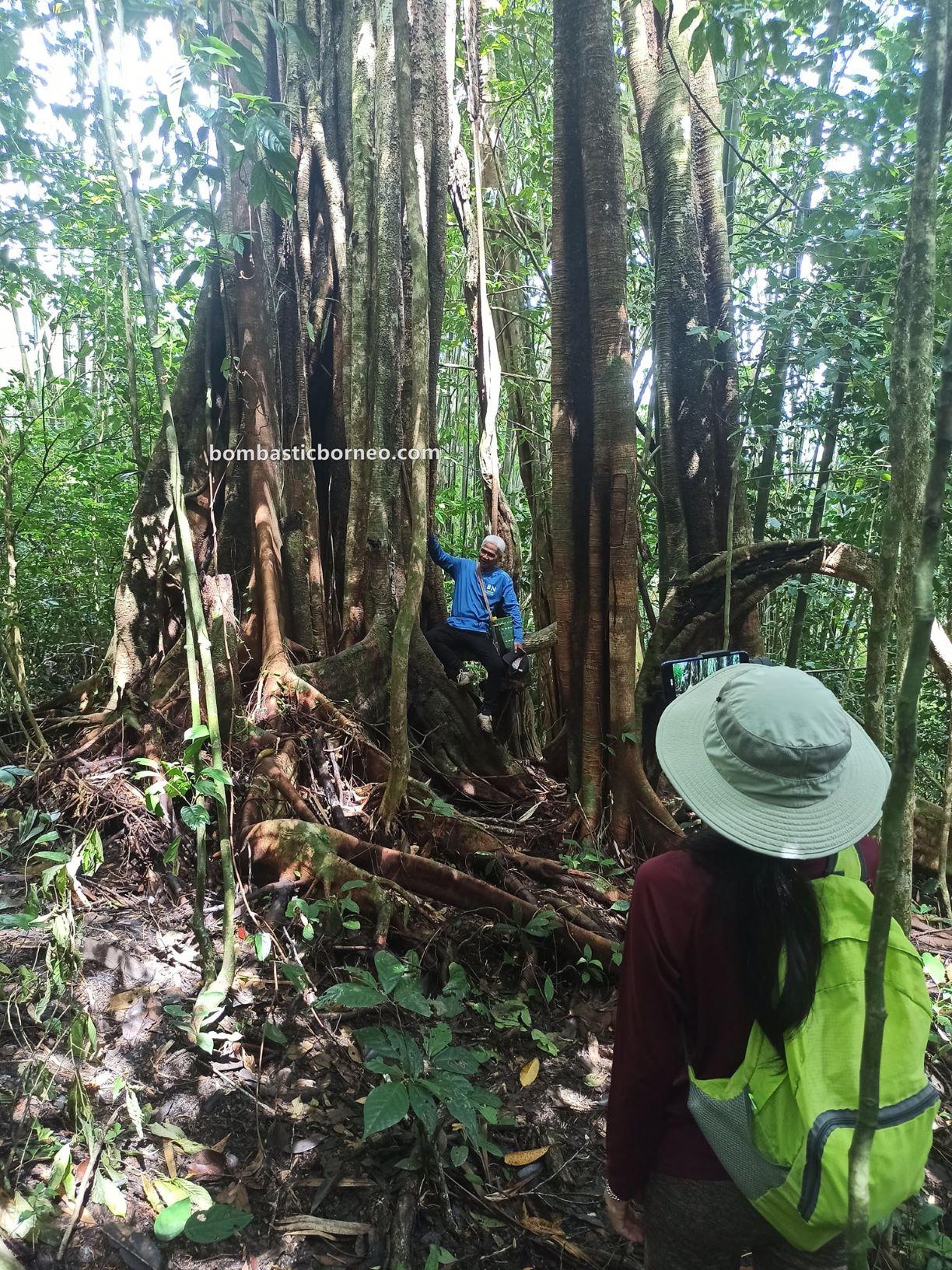 Bung Mawang, Kampung Gayu, rainforest, adventure, outdoor, jungle trekking, hiking, exploration, Padawan, Kuching, Tourism, tourist attraction, 探索婆罗洲游踪, 马来西亚砂拉越, 古晋热带雨林徒步