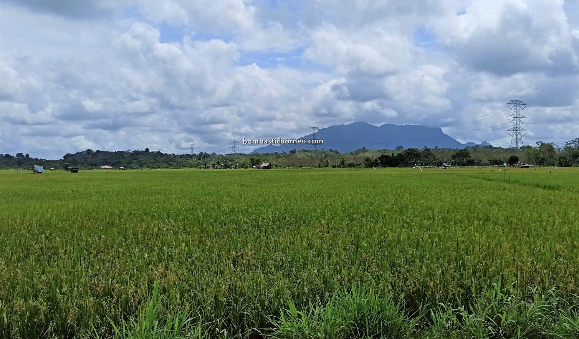 Paddy Field, Sawah Padi, Kampung Skuduk, village, Dayak Bidayuh, Serian, Sarawak, Malaysia, authentic, traditional, backpackers, nature, ecotourism, travel guide, Trans Borneo,