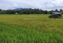 Paddy Field, Sawah Padi, Kampung Chupak, Dayak Bidayuh village, Serian, Sarawak, Malaysia, backpackers, destination, exploration, nature, tourism, tourist attraction, travel local, Trans Borneo,
