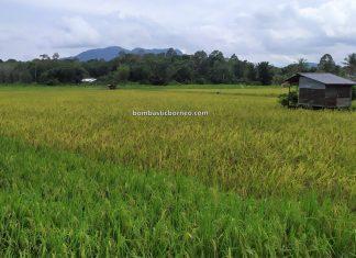 Paddy Field, Sawah Padi, Kampung Chupak, Dayak Bidayuh village, Serian, Sarawak, Malaysia, backpackers, destination, exploration, nature, tourism, tourist attraction, travel local, Trans Borneo,