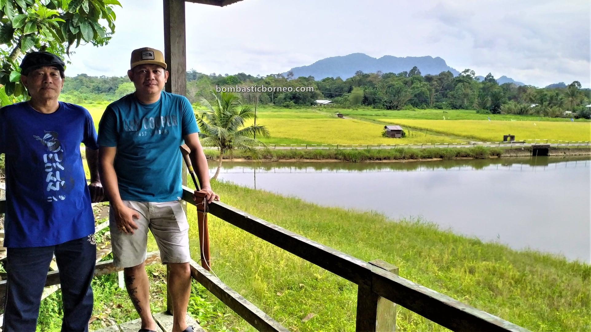 Paddy Field, Dayak Bidayuh village, Siburan, Sarawak, Malaysia, authentic, traditional, nature, ecotourism, travel local, Gua Raya, Borneo, 探索婆罗洲游踪, 砂拉越西连, 马来西亚稻米之乡