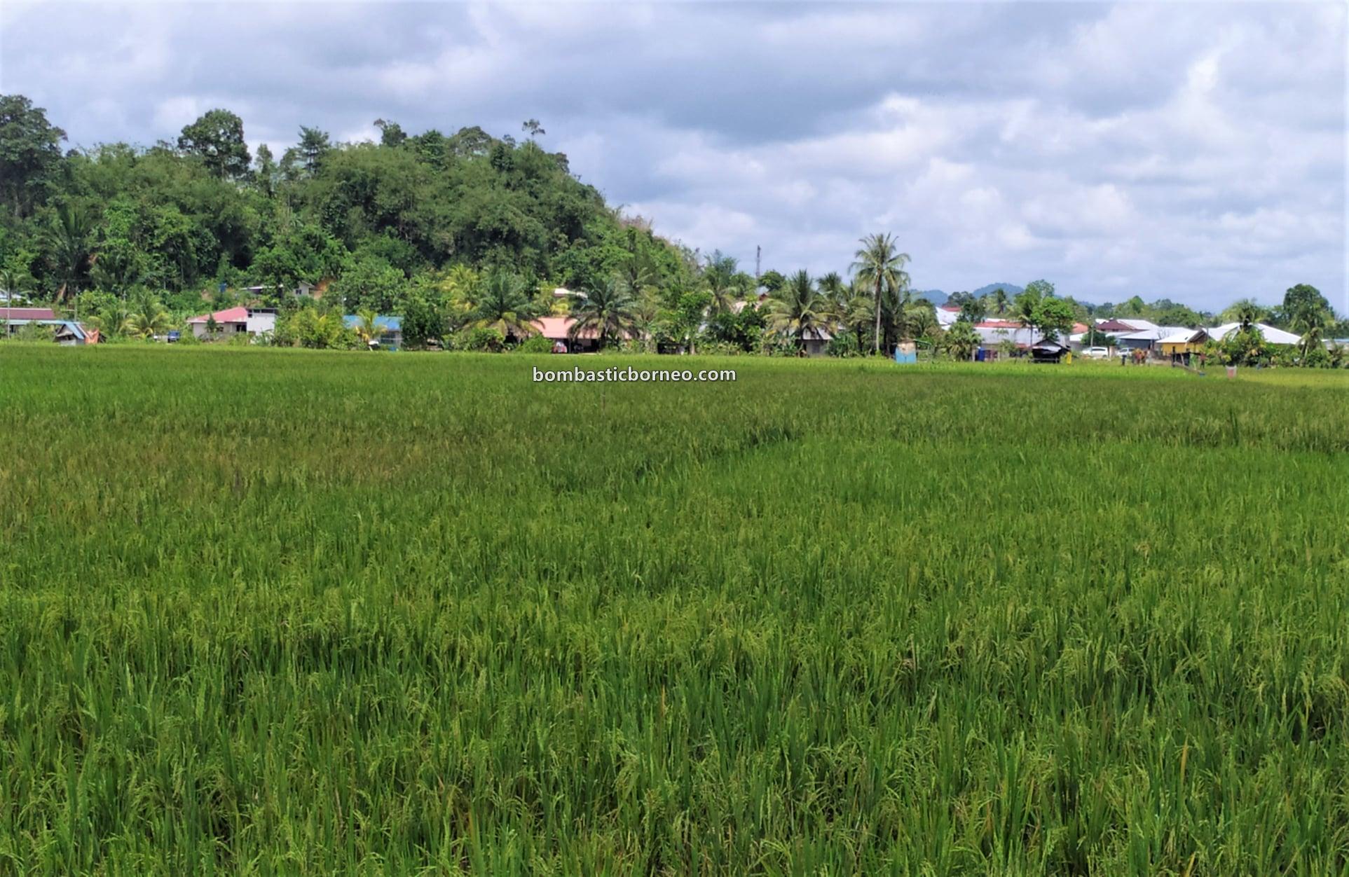 Sawah Padi, Village, Dayak Bidayuh, Serian, Sarawak, Malaysia, authentic, traditional, nature, ecotourism, travel local, Trans Borneo, 探索婆罗洲游踪, 砂拉越西连景点, 马来西亚稻米之乡