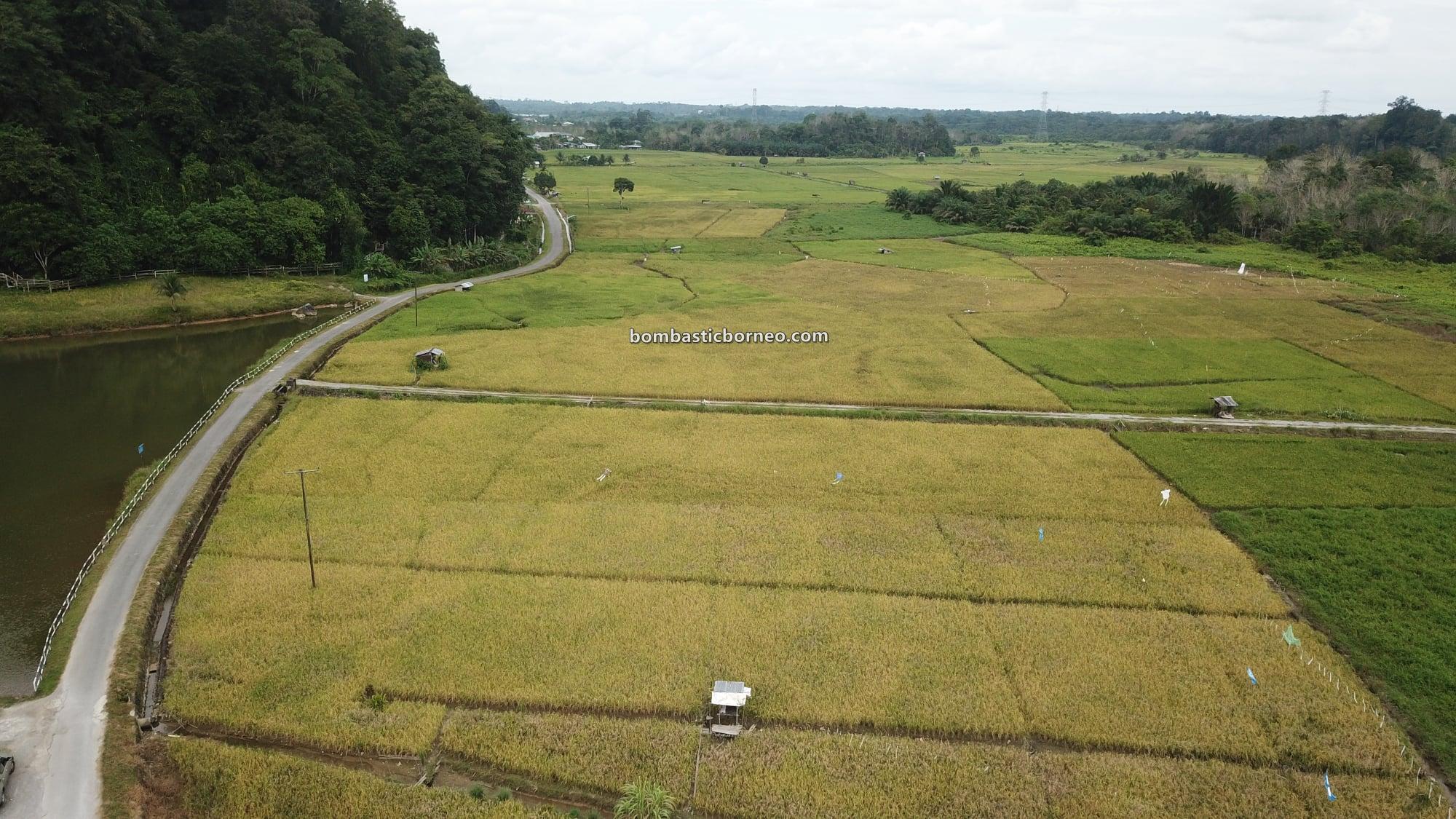 Sawah Padi, Kampung, Dayak Bidayuh, Serian, Malaysia, authentic, traditional, destination, objek wisata, ecotourism, travel local, Trans Borneo, 探索马来西亚砂拉越, 西连旅游景点, 婆罗洲稻米之乡