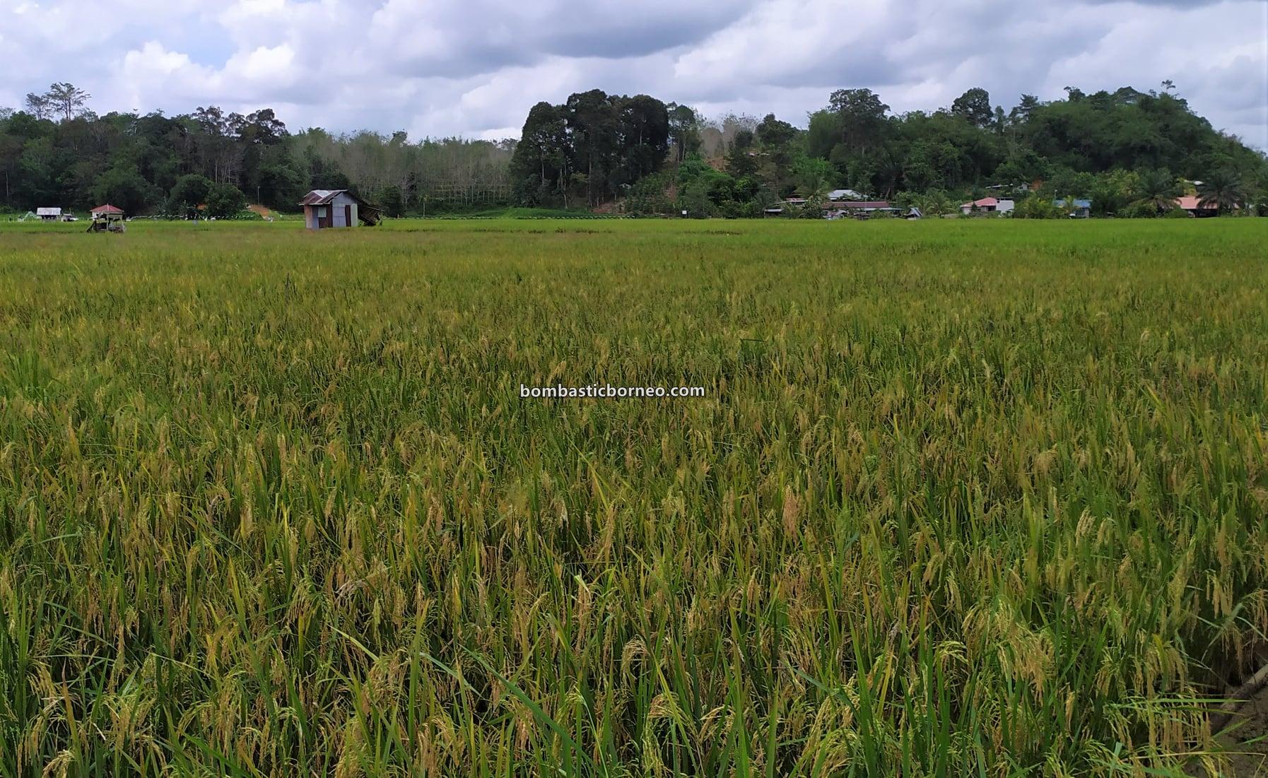 Sawah Padi, Kampung Skuduk, Village, Dayak Bidayuh, Serian, authentic, backpackers, destination, exploration, objek wisata, ecotourism, Trans Borneo, 马来西亚砂拉越, 探索西连稻米之乡, 婆罗洲稻田景点