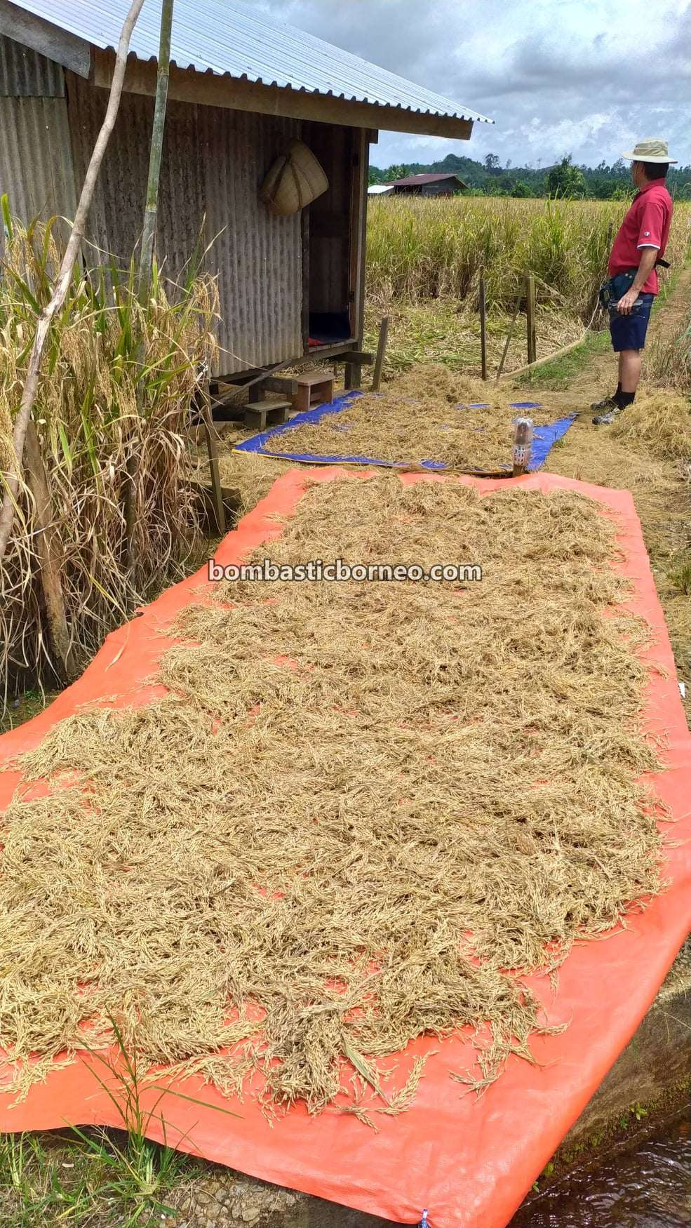 Kampung Bunan Gega, Paddy Farming, Paddy field, Paddy harvesting, Sawah Padi, Dayak Bidayuh, authentic, traditional, Serian, Sarawak, Malaysia, Tourism, tourist attraction, travel locally, Borneo,