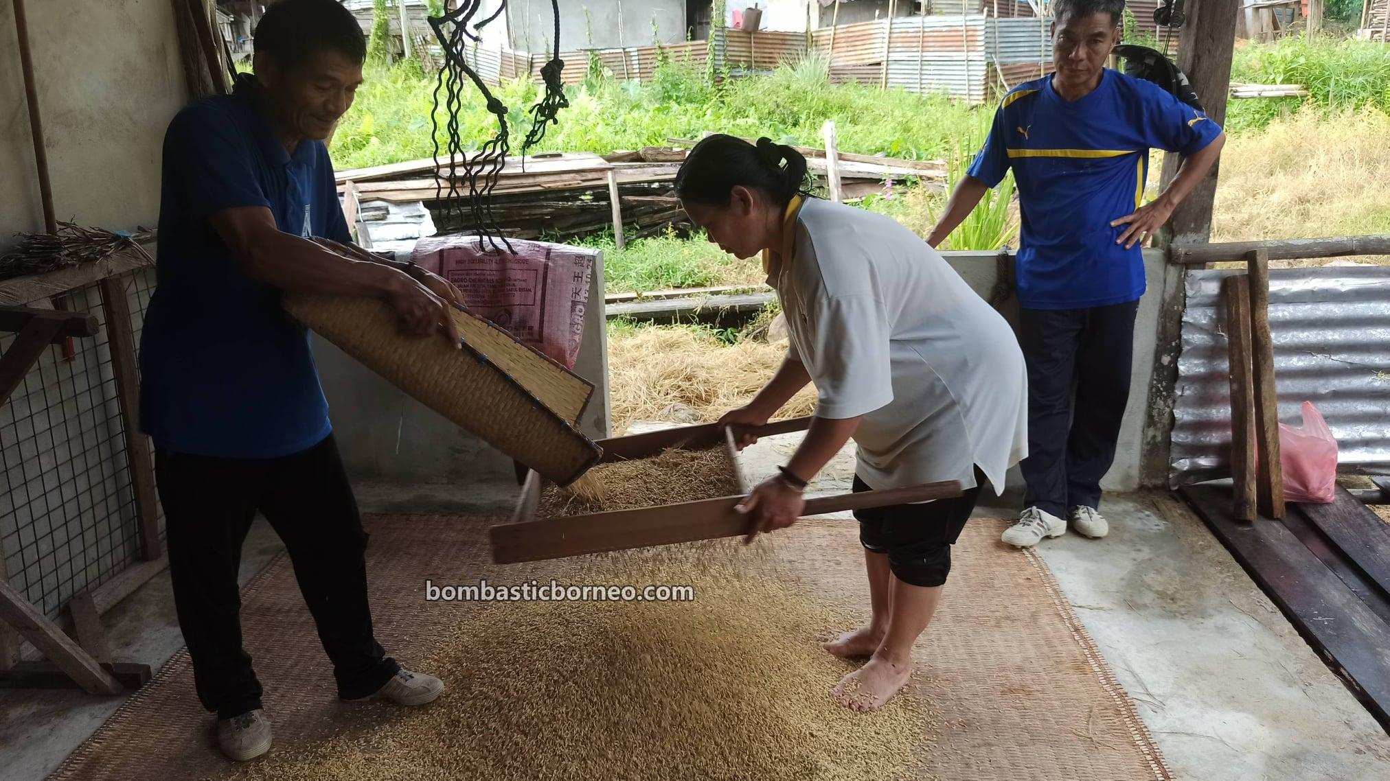 Paddy sieving, Kampung Gahat, Village, paddy farming, authentic, Traditional, dayak bidayuh, native, culture, Serian, Sarawak, Tourism, tourist attraction, travel guide, Borneo