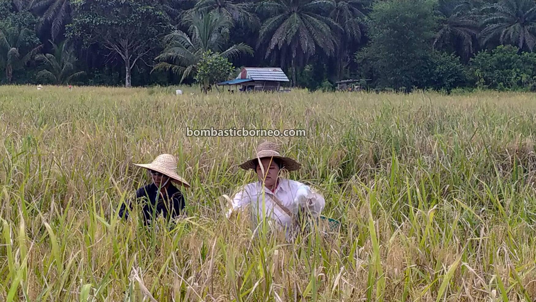 Kampung Bunan Gega, Paddy Farming, Paddy field, Paddy harvesting, Sawah Padi, Dayak Bidayuh, authentic, traditional, culture, destination, exploration, Serian, Sarawak, Tourism, travel local,