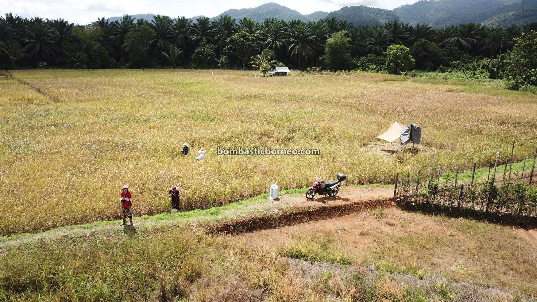 Village, Paddy field, Sawah Padi, Dayak Bidayuh, traditional, destination, Serian, Malaysia, Tourism, tourist attraction, travel local, Borneo, 穿越婆罗洲游踪, 马来西亚砂拉越, 西连稻米之乡