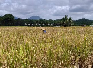 Paddy Farming, Sawah Padi, Dayak Bidayuh, native, authentic, traditional, destination, Sarawak, Malaysia, tourist attraction, travel local, Borneo, 穿越婆罗洲游踪, 马来西亚西连, 砂拉越稻米之乡