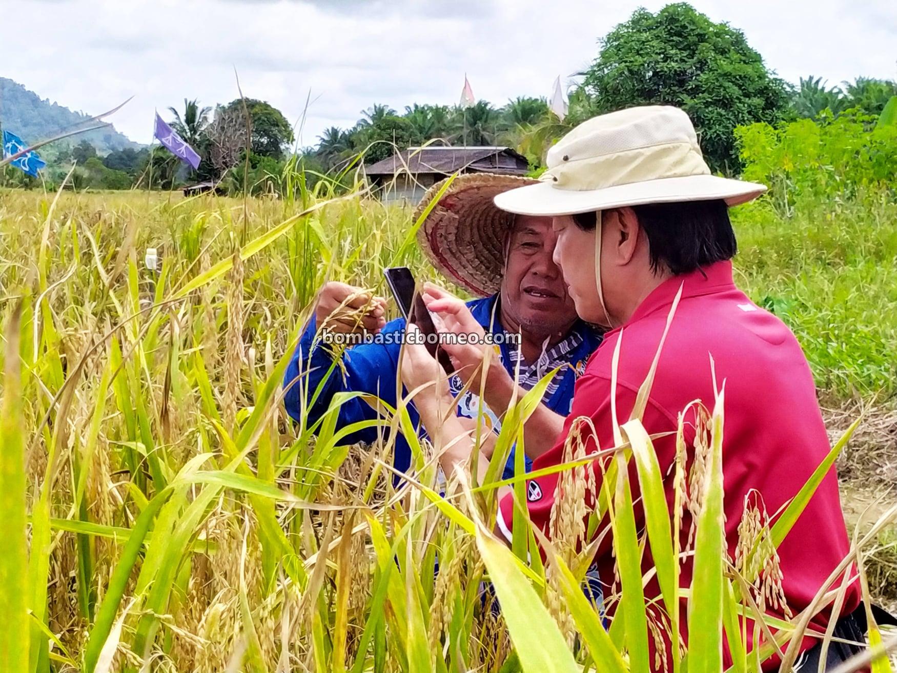 Bunan Gega Village, Paddy Farming, Paddy harvesting, Sawah Padi, Dayak Bidayuh, authentic, traditional, exploration, Malaysia, Tourist attraction, travel guide, Borneo, 马来西亚砂拉越, 西连比达友稻田, 婆罗洲稻米之乡