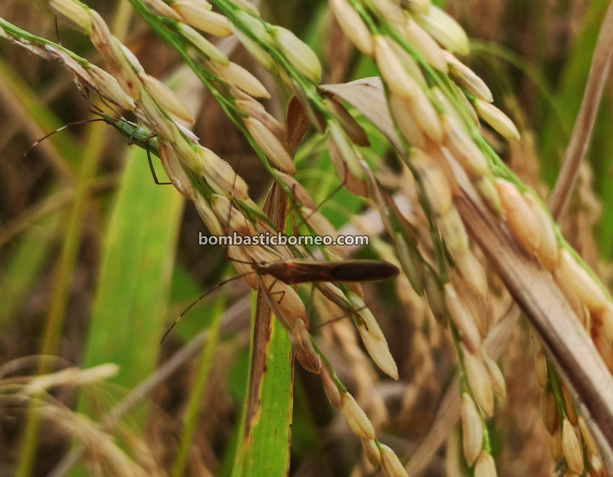 Paddy field, Paddy harvesting, Sawah Padi, exploration, Serian, Malaysia, perosak padi, travel guide, Borneo, 稻米害虫